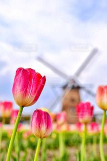 風車とチューリップの写真・画像素材[1120065]