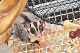 檻の中の小動物の写真・画像素材[1135654]