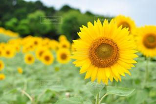 黄色の花の写真・画像素材[1177026]