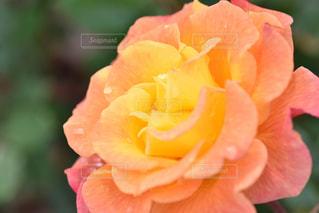 近くの花のアップの写真・画像素材[1177027]