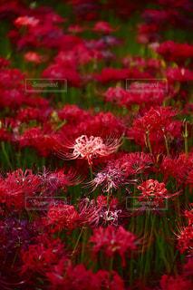 花の写真・画像素材[1422353]