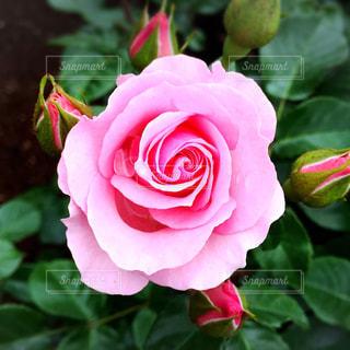 花の写真・画像素材[629455]