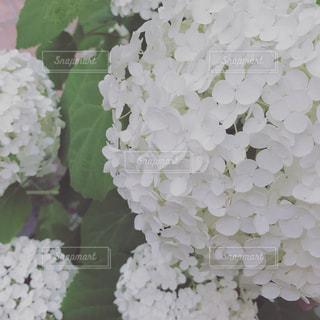 花の写真・画像素材[626587]