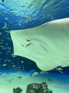 水族館 エイの写真・画像素材[4253849]