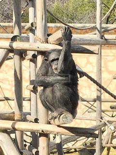 猿の写真・画像素材[634611]