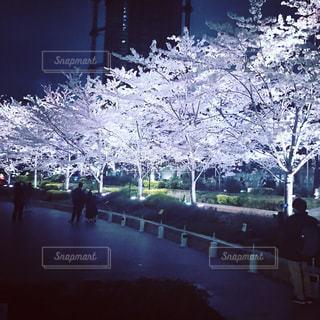 桜の写真・画像素材[632965]