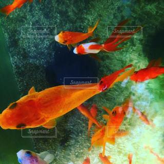 金魚の水槽を真上からの写真・画像素材[1015944]
