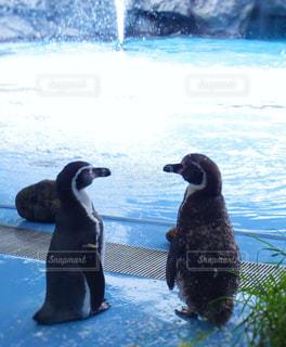 水体で泳ぐペンギンの写真・画像素材[1015946]