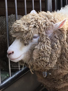 羊の写真・画像素材[628620]