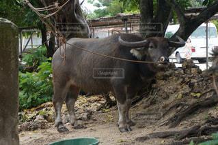 水牛を飼育しているところの写真・画像素材[1220482]