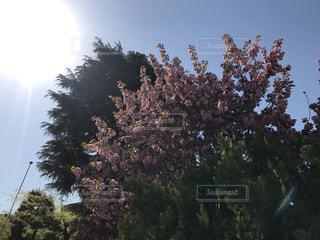 牡丹桜のある風景の写真・画像素材[1222413]