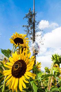 Sunflowers - No.749456