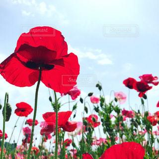 花の前で赤い傘の写真・画像素材[1212917]