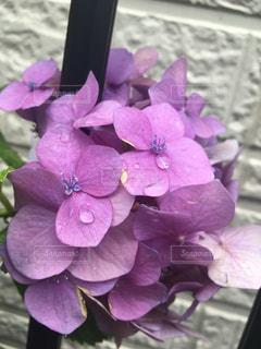 紫陽花の写真・画像素材[629107]