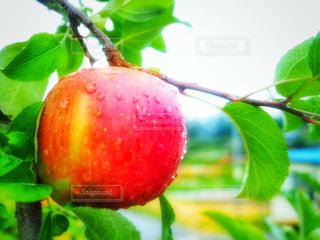 雨上がりの林檎の写真・画像素材[809519]