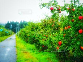 雨上がりのりんご畑の写真・画像素材[809520]