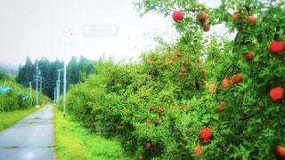 りんご畑 - No.810072