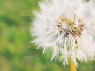 たんぽぽの綿毛の写真・画像素材[847520]