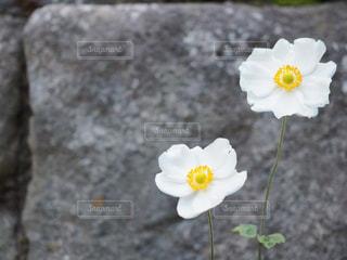 シュウメイギクの写真・画像素材[851358]