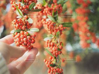 赤い実の写真・画像素材[851864]
