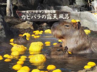 カピバラ露天風呂の写真・画像素材[942602]