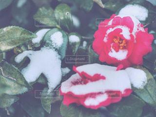 椿と雪 - No.977194
