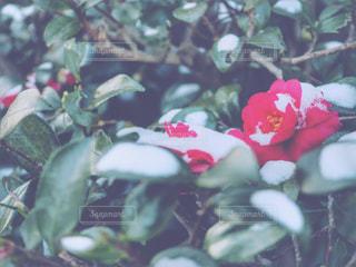 雪と椿の写真・画像素材[977195]