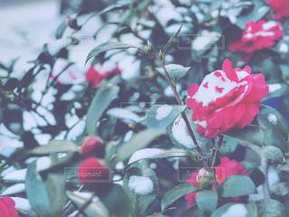 雪と椿の写真・画像素材[977196]