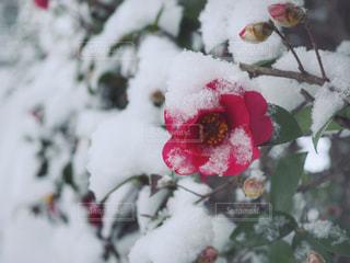 寒椿と雪の写真・画像素材[978749]