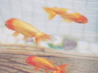 金魚の写真・画像素材[993672]
