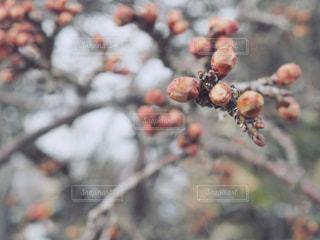 梅の蕾の写真・画像素材[1001694]