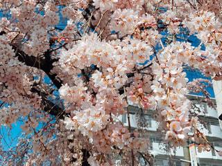 近所のしだれ桜の写真・画像素材[1041108]