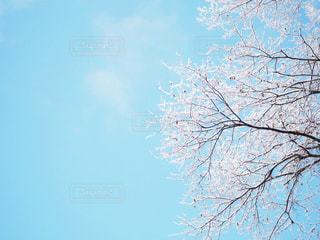 春の空と、雪の華の写真・画像素材[1054464]
