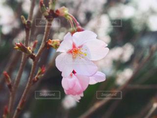 桜の写真・画像素材[1059764]