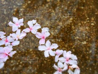 水に浮かぶ桜の写真・画像素材[1060192]