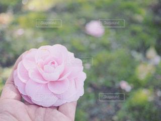 乙女椿と手の写真・画像素材[1077727]