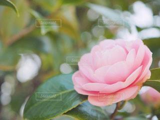 乙女椿の写真・画像素材[1077730]