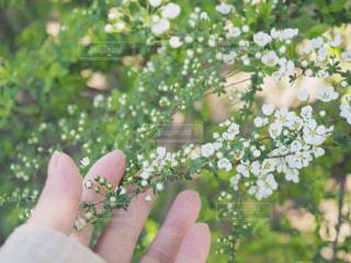 雪柳の写真・画像素材[1077736]