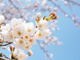 桜と空の写真・画像素材[1078004]