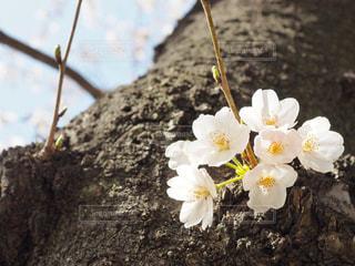 桜の写真・画像素材[1078019]