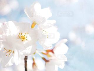 桜のエアリーフォトの写真・画像素材[1078022]