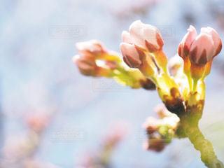 桜の花のつぼみ - No.1078023