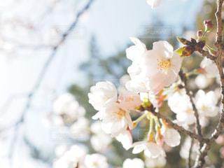 桜の写真・画像素材[1078026]