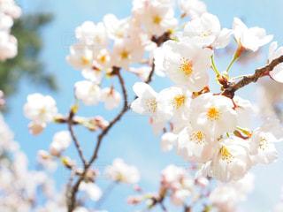桜の写真・画像素材[1078027]