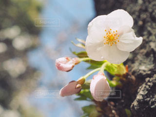 桜の写真・画像素材[1078028]