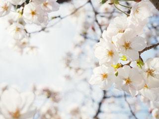 桜の写真・画像素材[1078029]
