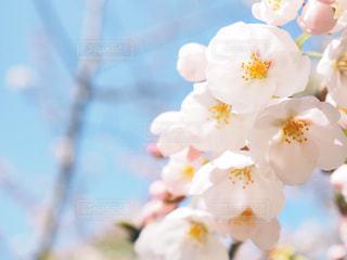 桜の写真・画像素材[1078032]
