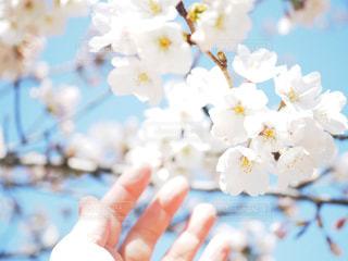 桜と手の写真・画像素材[1078033]