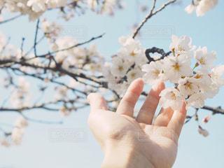 桜と手の写真・画像素材[1078034]