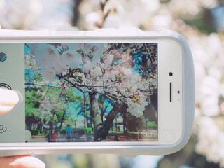 スマホ越しの桜の写真・画像素材[1078041]
